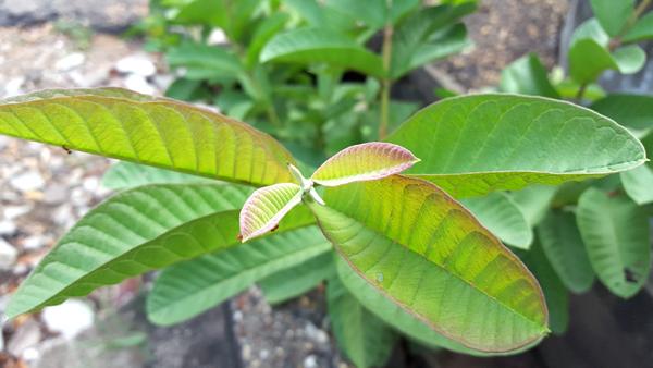Guava-Leaf