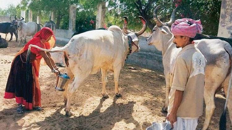 കോവിഡ് കാലത്ത് ഗുജറാത്തിൽ ഗോമൂത്ര ഉപഭോഗത്തിൽ വൻ വർധന