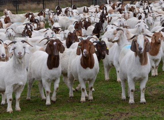 ഇടയന് രോഗബാധ; ക്വാറൻറീനിലാക്കിയ 50 ആടുകൾക്ക് കോവിഡില്ല