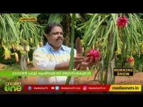 കേരളത്തിലും ഡ്രാഗൺ ഫ്രൂട്ട് വിളയുമെന്ന് തെളിയിച്ചിച്ച് ജ്യോതിഷ് കുമാർ | Kerala Dragon Fruit