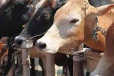 cow-161219.jpg