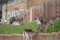 Deer take over East London streets