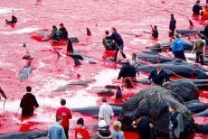 denmark-Whales-Slaughter
