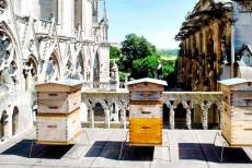 notre-dame-bees