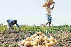 potato-farmers
