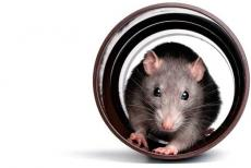 rat-130919.jpg