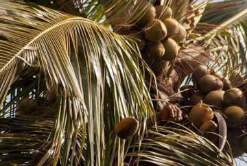 coconut-161219.jpg