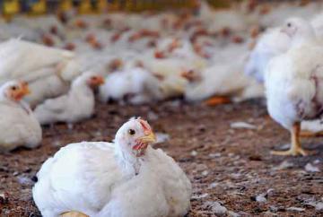 paultry-farming