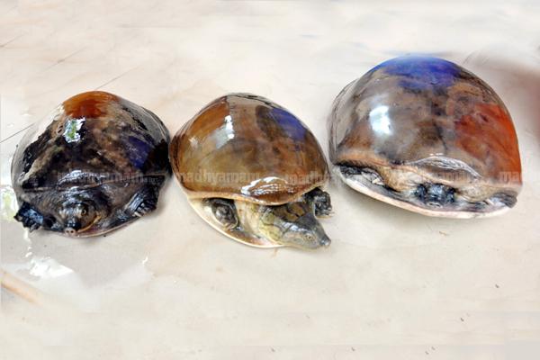 tortoise-theft