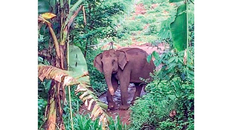 വ്രണവുമായി കാണപ്പെട്ട കാട്ടാനവീണ്ടും ജനവാസകേന്ദ്രത്തിൽ